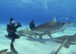 Tiger beach - Bahamas